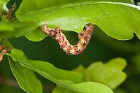 Großer Frostspanner, Raupe frisst an Eiche, Erannis defoliaria, Phalaena defoliaria, Hybernia defoliaria, Mottled Umber, Forstschädling, Spanner, Spannerraupe, Geometridae, looper, loopers, geometer moths, geometer moth