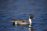Northern Pintail, Anas acuta, male, Bosque del Apache National Wildlife Refuge , New Mexico, USA, December 2003