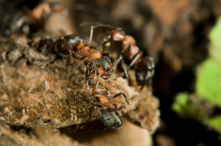 Wood ants, Formica rufa, touching antennae. this allows the ants to taste the chemical marks that determine whether they share the same nest. If not a fight will almost certainly insue. These ants are sat on the shell of beech-mast. Sapperton, Gloucestershire. UK.