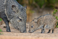 650520188 a wild baby javelina dicolytes tajacu interacts with its mother on beto gutierrez ranch hidalgo county texas united states
