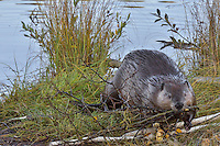 "North American Beaver (Castor canadensis) pulling aspen tree limb out on bank where it will feed on it.  Beavers often have regular feeding areas within their home range and will frequently eat much of theeir food at these locations.  These sites are often called ""feeding stations.""  Northern Rockies,  Fall."