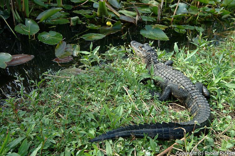 American Alligator, Alligator mississippiensis,adult resting on bank by water, Everglades National Park, predator.USA....