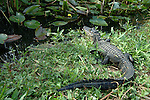 American Alligator, Alligator mississippiensis,adult resting on bank by water, Everglades National Park, predator.USA....