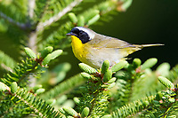 common yellowthroat, Geothlypis trichas, male, perched on evergreen with backdrop of pinkish-purple rhodora flowers, Rhododendron canadense, Nova Scotia, Canada