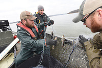 NWA Democrat-Gazette/FLIP PUTTHOFF <br /> BEAVER LAKE WALLEYE RESEARCH<br /> Jordan Lindaman (from left), Kevin Hopkins and Matt Gideon, all with the Arkansas Game and Fish Commission, remove fish on Tuesday Feb. 5 2019 from a gill net near the Arkansas 12 bridge launch ramp during a walleye study at Beaver Lake. The study aims to determine the percentage of walleye that Game and Fish has stocked in the lake and the percentage of walleye that were spawned naturally. Game and Fish has stocked walleye in Beaver Lake for years to give a boost to the number of walleye that are are born naturally in the lake.