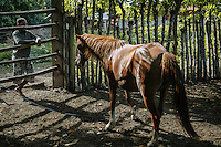 A Sumba horses at a ranch in Mbrukulu, Eastern Sumba.