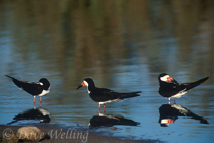 578613028 three wild black skimmers rynchops niger preen and rest in a shallow pond at salton sea national wildlife refuge in southern california