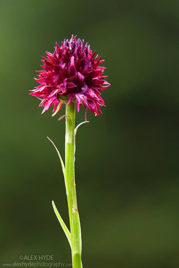 Black vanilla orchid (Nigritella nigra) growing in alpine meadow at 2000 metres. Nordtirol, Austrian Alps. August.