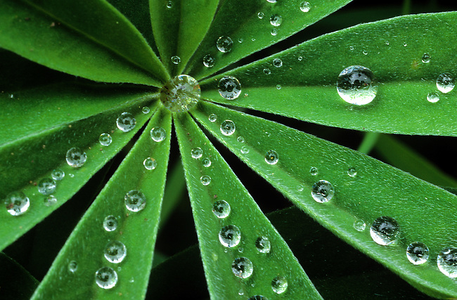 Dew Drops on Lupine