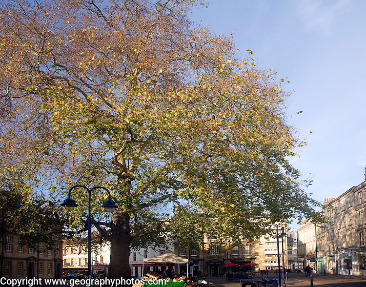 Large plane tree in the centre of Kingsmead Square, Bath, England