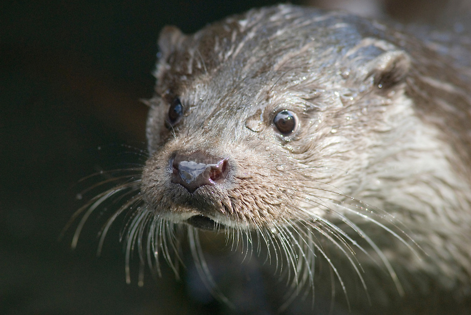 Otter (Lutra lutra) kop