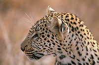 The leopard is the most solitary of Africa's big cats and its stealth and power make it a very effective hunter. When there are lions and hyenas in the vicinity, leopards typically move their kills up into trees to safeguard and devour them.