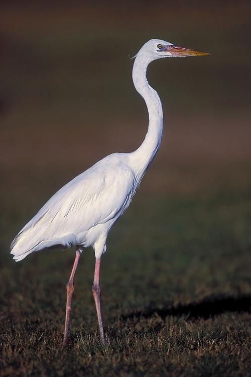 Great Blue Heron - Ardea herodias - Adult white morph