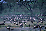 A large herd of blue wildebeest move across the savannah.