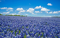 Endless bluebonnets in the Texas Hill Country with a nice big blue sky.  I loved this big field of wildflowers with these nice clouds