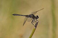 362690008 a wild male black meadowhawk sympetrum danae perches on a stick near de chambeau ponds in mono county california united states