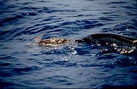 Atlantic spotted dolphin, Stenella frontalis, playing with a loggerhead turtle, Caretta caretta, off La Gomera, Canary Islands, NE Atlantic Ocean