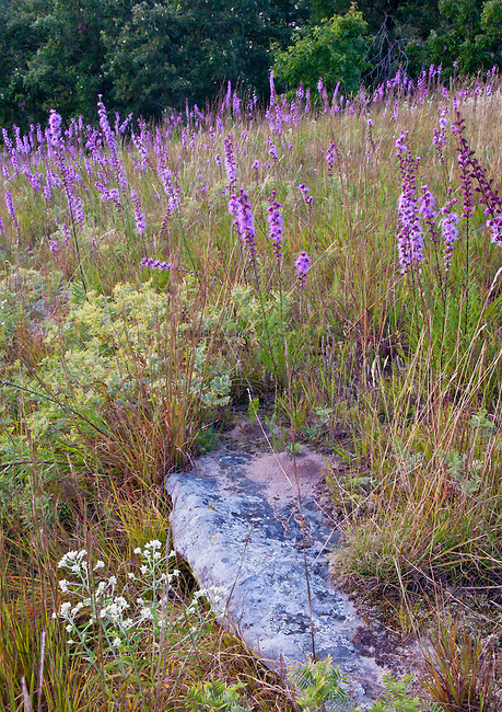 Blazing Star wildflowers fill a hillside at Nachusa Grasslands Nature Conservancy in Ogle and Lee Counties in Illinois