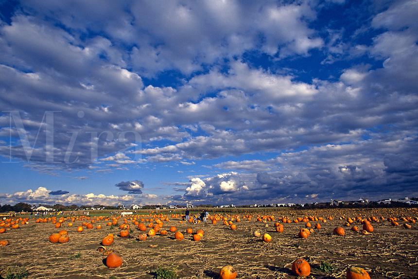 Autumn pumpkin patch.