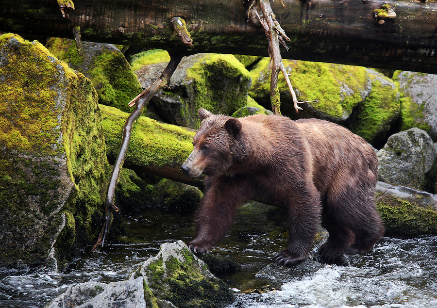 Female coastal brown bear on shore of Anan Creek looking for salmon, Anan Wildlife Observatory, Tongass National Forest, Southeast, Alaska