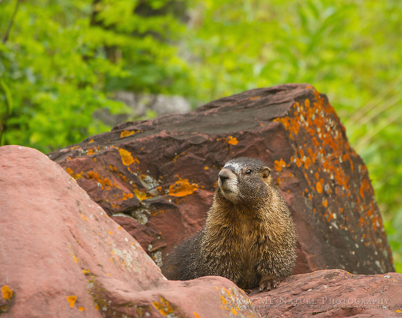 Yellow-bellied Marmot sitting among the rocks of Colorado's Maroon Bells.
