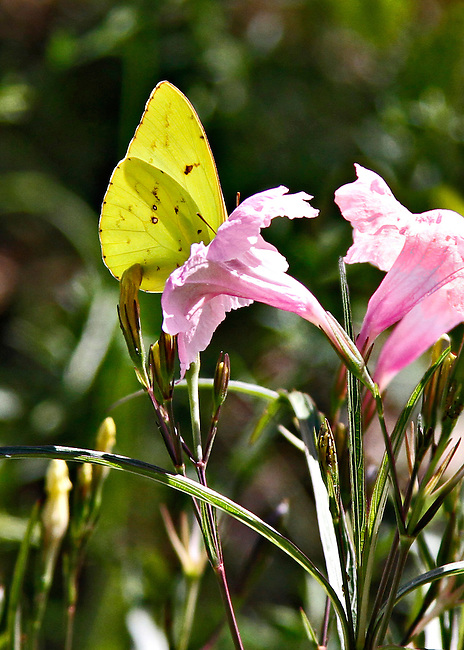 Cloudless Sulpher - Phoebis sennae: A yellow cloudless sulpher with closed wings and antenna visible is partially hidden as it drinks the nectar from the tube of a pink flower.