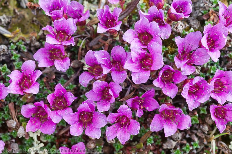 Purple mountain saxifrage, Brooks Range mountains, Arctic National Wildlife Refuge, Alaska