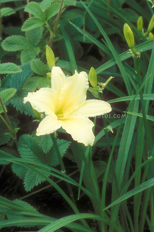 Daylily Cream Drop in pale yellow bloom in summer