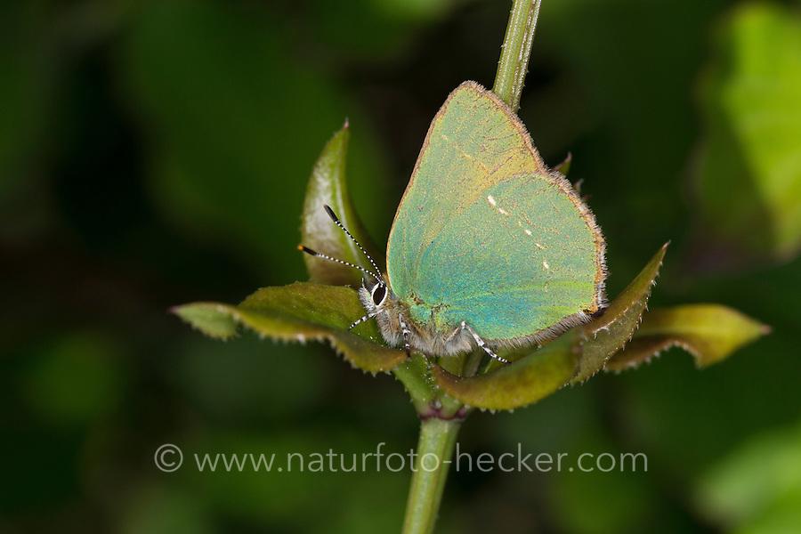 Grüner Zipfelfalter, Brombeer-Zipfelfalter, Brombeerzipfelfalter, Callophrys rubi, Green Hairstreak