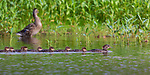Hooded merganser hen and ducklings swimming in northern Wisconsin.
