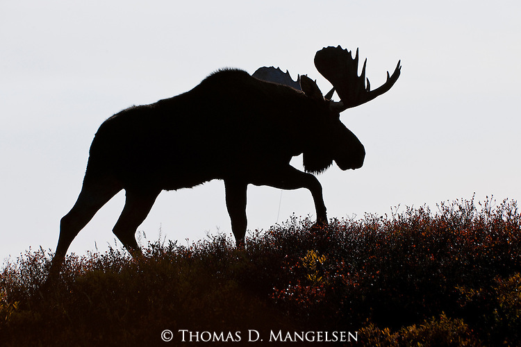 Portrait of a silhouetted bull moose walks on a hillside in Denali National Park, Alaska.