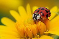 Ladybug Beetle (Coccinellidae), adult on Huisache Daisy (Amblyolepis setigera), Fennessey Ranch, Refugio, Coastal Bend, Texas, USA