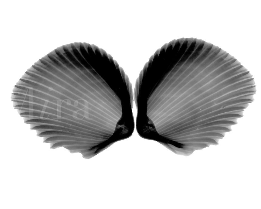 Xray Cockle shells
