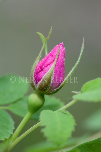 Wild Rose flower bud in a Montana National Forest
