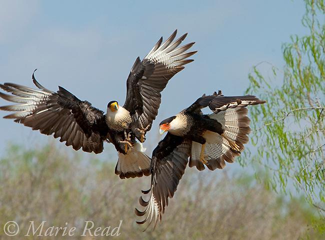 Crested Caracaras (Caracara cheriway), two in aggressive interaction in midair, Rio Grande Valley, Texas, USA