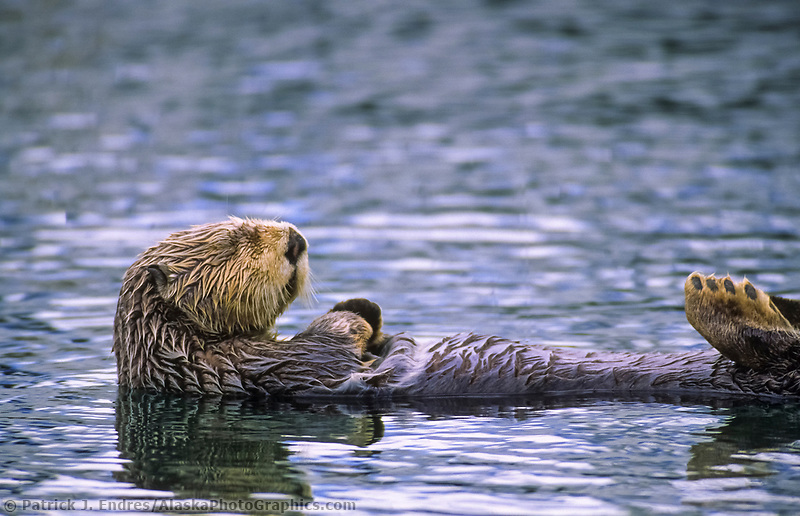 Sleeping sea otter, Cordova, Alaska