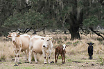 Brazoria County, Damon, Texas; a pair of newborn calves, one black and the other brown, only a few days old, staying close to their mothers in the pasture, the calf's coloration a clear indication of the fathers influence