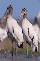 Wood Stork, Mycteria americana, adults, Lake Corpus Christi, Texas, USA, June 2003