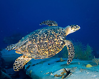 Hawksbill sea turtle (Eretmochelys imbricata) at the airplane wreck, South Caicos, Turks & Caicos, Caribbean.