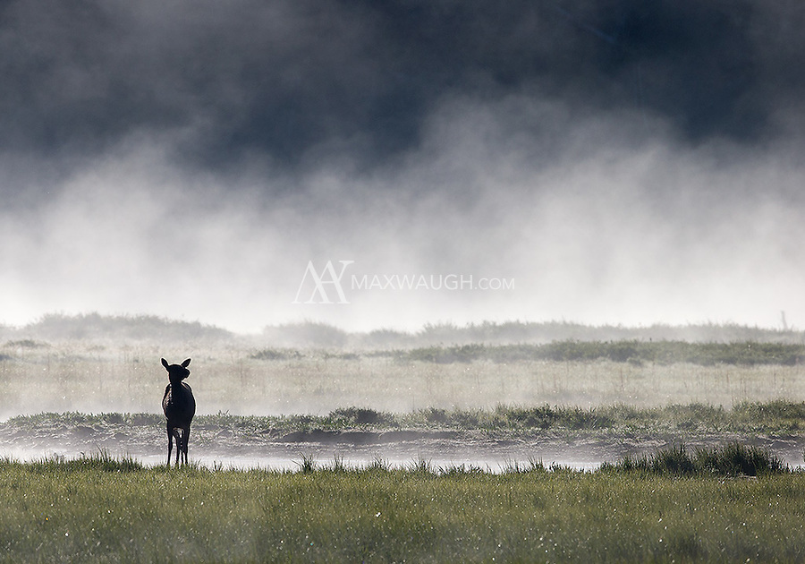 An elk pauses while grazing near a creek on a cool spring morning.