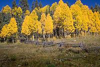 Aspen trees turn a bright yellow in the San Jaun Mountains near Telluride Colorado.