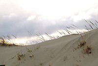 SAND DUNES<br /> Coastal Dunes, Dunegrass, Island Beach, NJ<br /> As onshore winds blow sand inland from the beach, coastal dunes form. Plant succession occurs. Rotting seaweed brought in by storms gives nutrients to pioneer species such as beach grasses. Their deep roots bind the sand together and a foredune is formed.