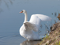 Adult Mute Swan {Cygnus olor} Flapping its Wings at Rainham Marshes, Essex