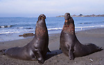 Bull Elephant seals by Frank Balthis