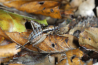 Wood Cricket - Nemobius sylvestris