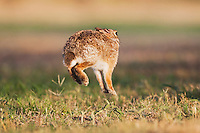 Eastern Cottontail (Sylvilagus floridanus), adult jumping, Sinton, Corpus Christi, Coastal Bend, Texas, USA