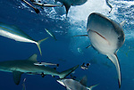 Grey Reef sharks at North Horn teeming at water surface.Carcharhinus amblyrhynchos