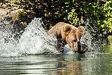 USA, Alaska, Redoubt Bay, Big River Lake, a brown grizzly bear catching fish in the waters near Wolverine Cove