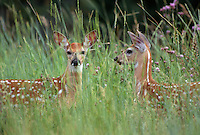 35-M07-DW-06    WHITE-TAILED DEER (Odocoileuis virginianus) two fawns in tall grass, National Bison Range, Montana, USA.
