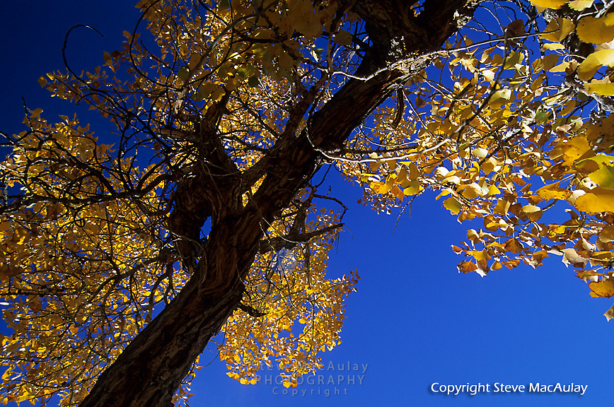 Fremont Cottonwood, Bartlett Wash, Utah.  Yellow leaves in full fall color against brilliant blue sky.